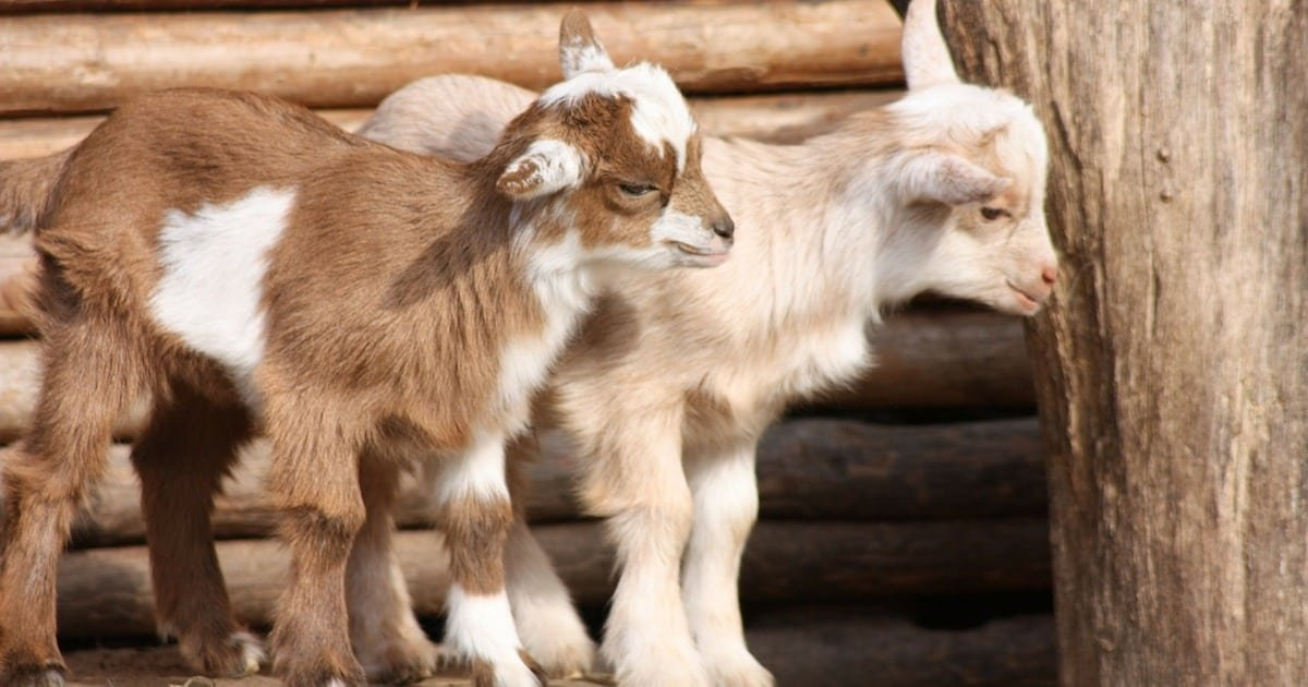 a 4.jpg?resize=412,232 - Goats Can Tell When You're Smiling And They Really Like It, Study Suggested