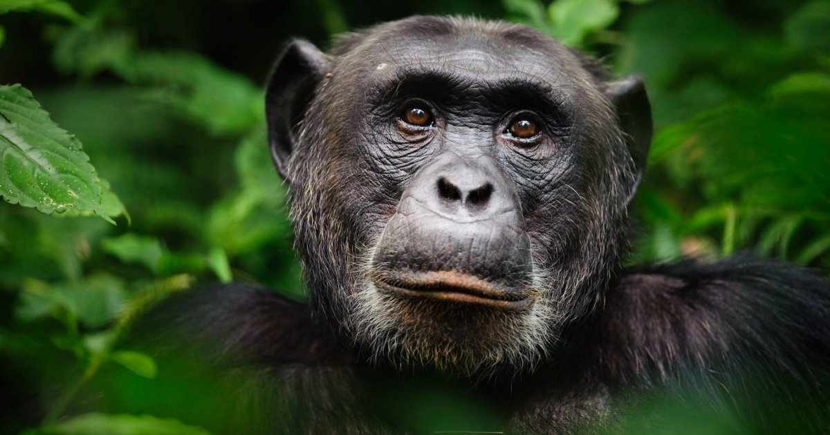 a 8.jpg?resize=412,232 - An Expert Revealed That Chimp Meat Is Sold At Markets And Served At Weddings In Britain