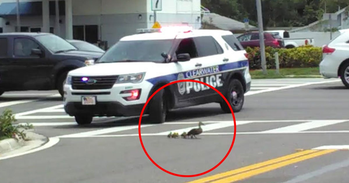 cop help duck cross road.jpg?resize=412,232 - Heartwarming Video Of A Police Officer Helping A Mother Duck And Her Ducklings To Safely Cross The Road
