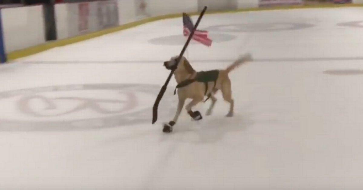 d1 17.png?resize=1200,630 - Benny le labrador a été sauvé juste un jour avant qu'il ne soit piqué et il est maintenant devenu un patineur artistique