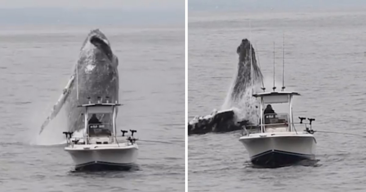 d1 6.png?resize=412,232 - Spectacular Video Portrays Humpback Whale Hardly Dodging Boat During Breach