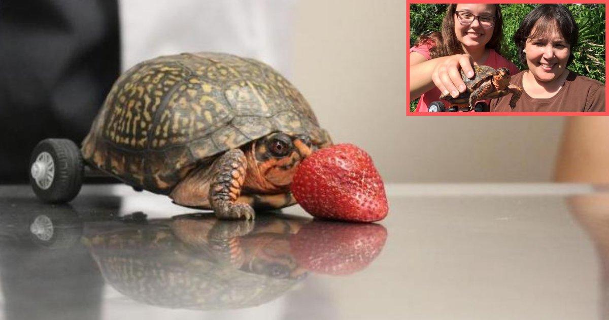 d3 15.png?resize=300,169 - Des vétérinaires ont construit un fauteuil roulant pour une tortue qui a perdu ses pattes arrières