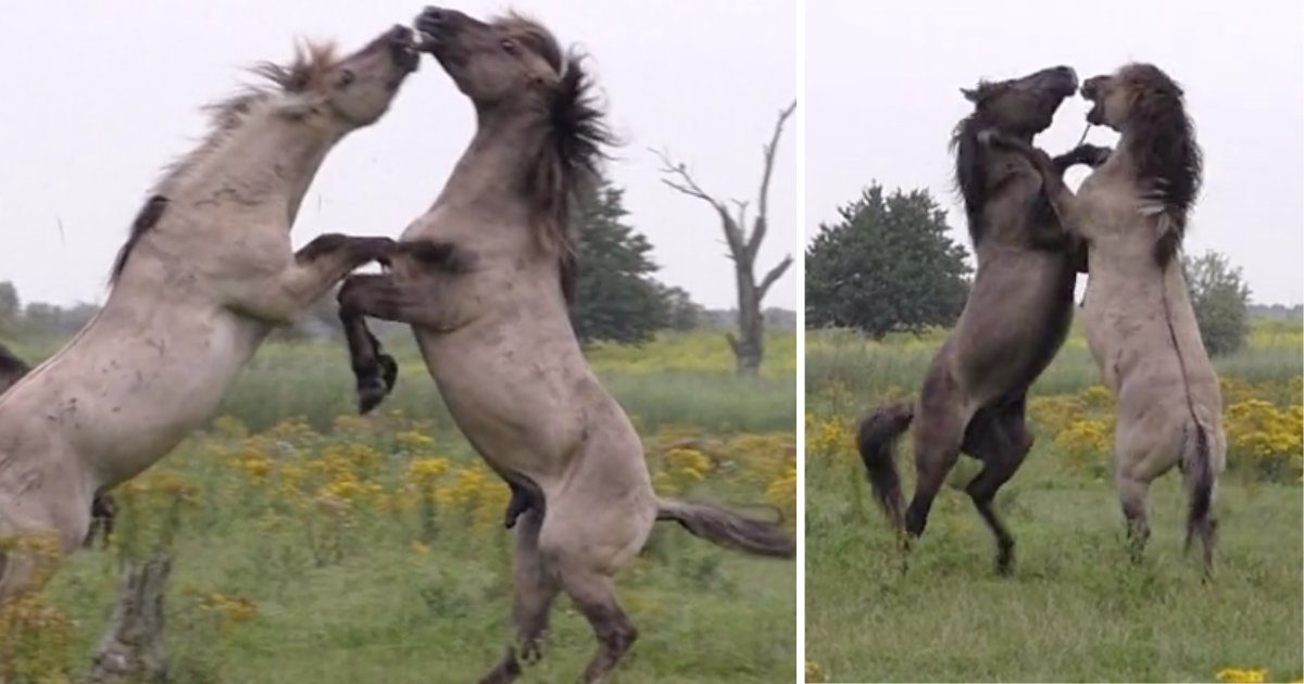 d3 16.png?resize=412,232 - A Fighting Wild Horse Gets Help From His Friend During The Fight