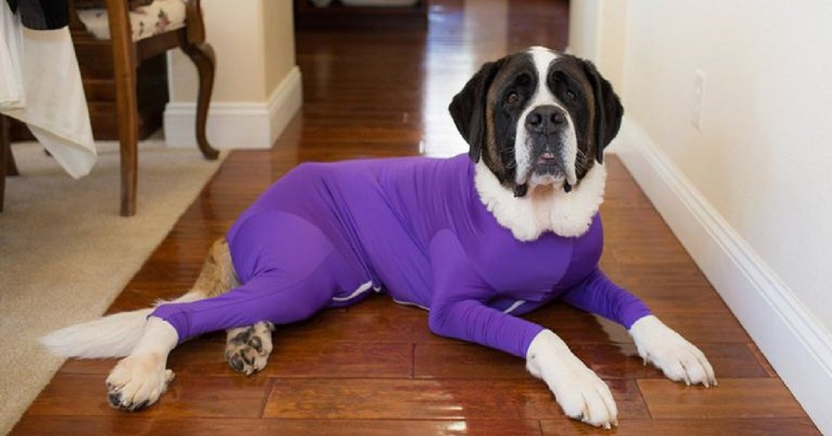 d3 3.jpg?resize=412,232 - Onesie For Dogs Helps Keep Dog Fur From Spreading All Over Your House