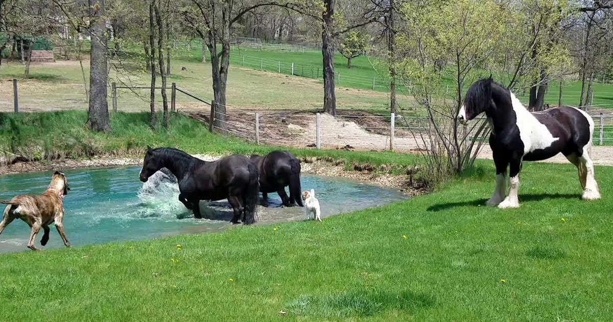dog horses water.jpg?resize=412,275 - Two Dogs Joined Horses As They Were Having A Great Time In The Pond