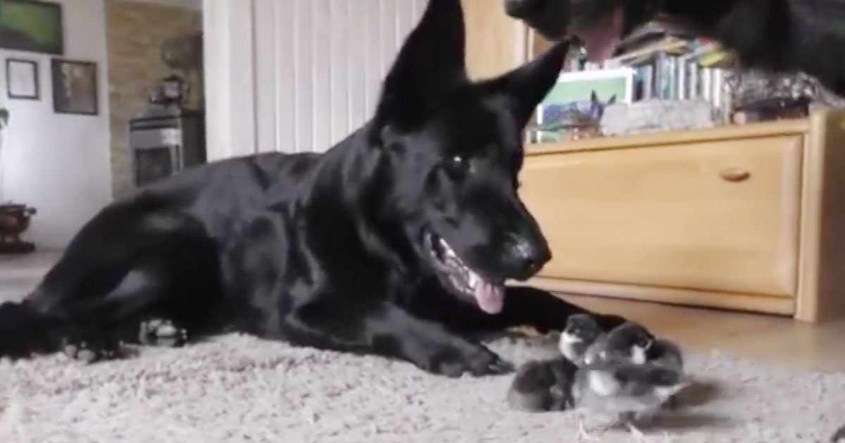 dogs watching over chicks.jpg?resize=412,232 - Adorable Video Of German Shepherds Welcoming Newborn Chicks Into The World