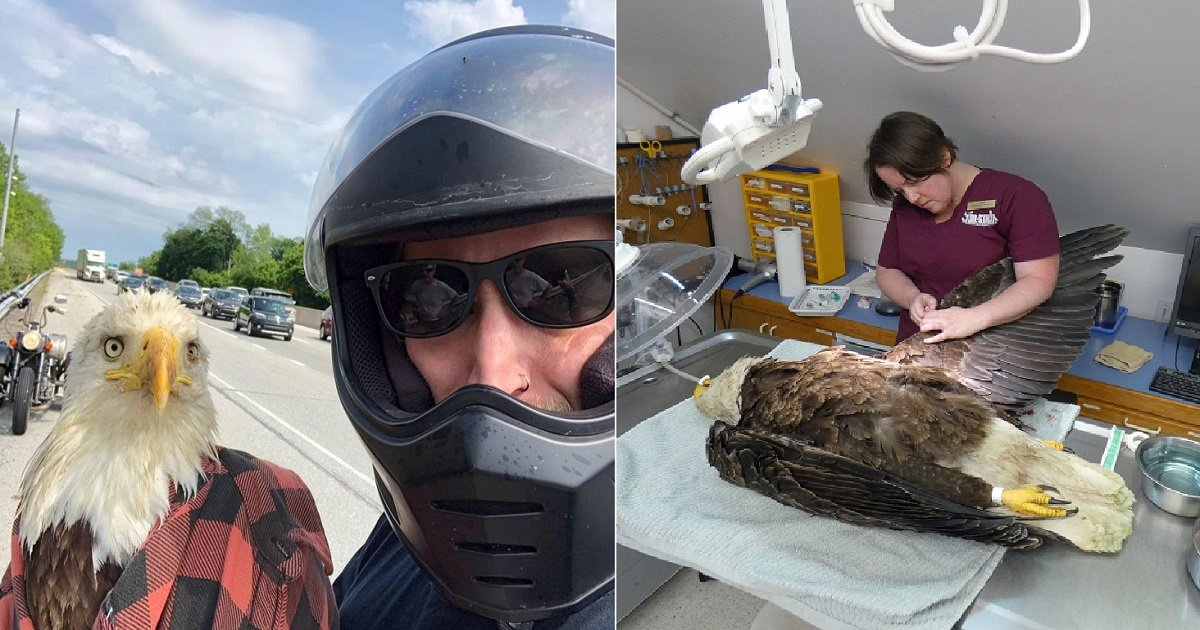 e3 1.jpg?resize=412,232 - Motorcyclist Stopped To Help Injured Bald Eagle That Was Stranded On The Highway