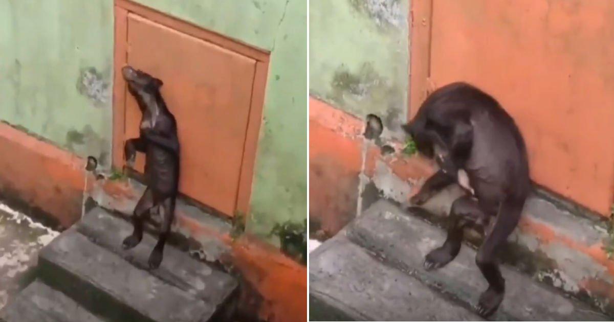 e38587 40.jpg?resize=300,169 - 뼈만 남아 울고 있는.. 인도네시아 동물원에서 발견된 이 짐승의 정체 (영상)