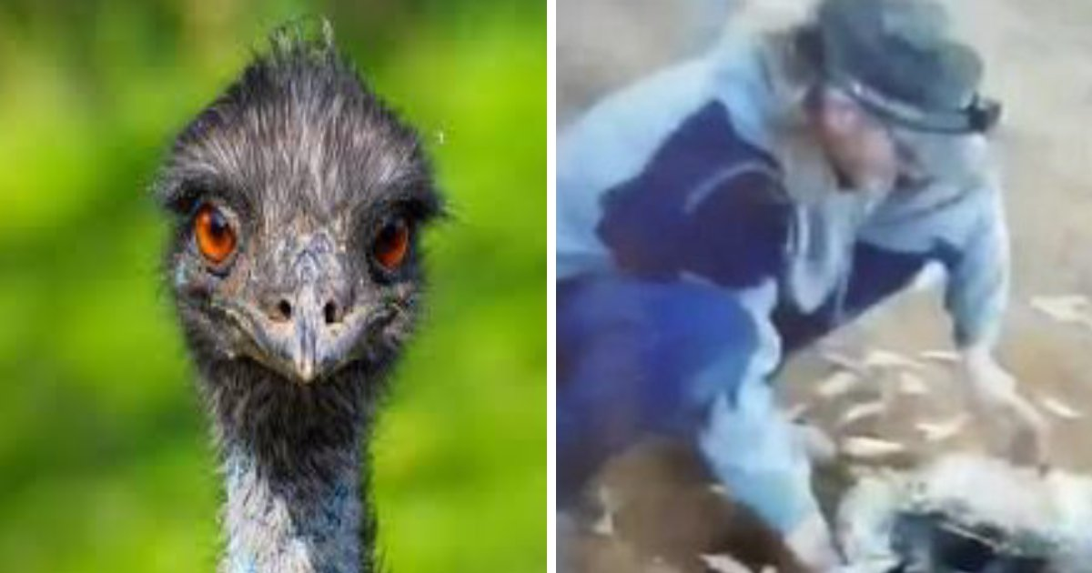 ec8388 ed9484eba19ceca09ded8ab8 1.png?resize=412,232 - Upsetting Facebook Video Shows Man Laughing While Brutally Removing Feathers of Injured Emu