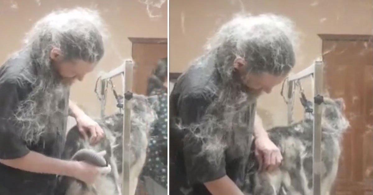 groomer covred hair.jpg?resize=300,169 - La vidéo d'un toiletteur pour chien couvert de poils de Husky lors de sa séance régulière de toilettage