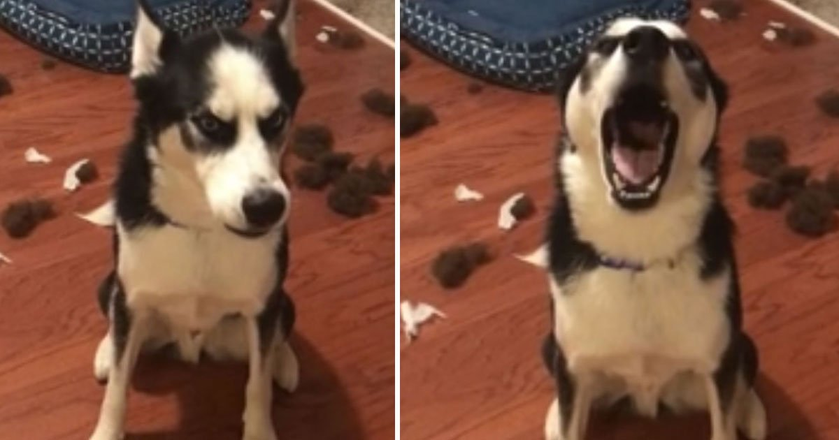 husky destroyed bed.jpg?resize=412,232 - Husky Refused To Make Eye Contact With His Parents After Destroying His Bed When He Was Home Alone