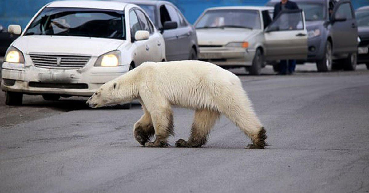 lost and starving polar bear spotted roaming in russian city.jpg?resize=300,169 - Un ours polaire perdu et affamé erre dans une ville en Russie