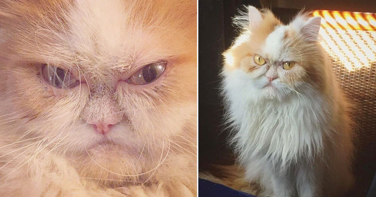louis new grumpy cat.jpg?resize=1200,630 - A Six-Year-Old Persian Cat Is The New 'Grumpy Cat' After The Death Of Tardar Sauce
