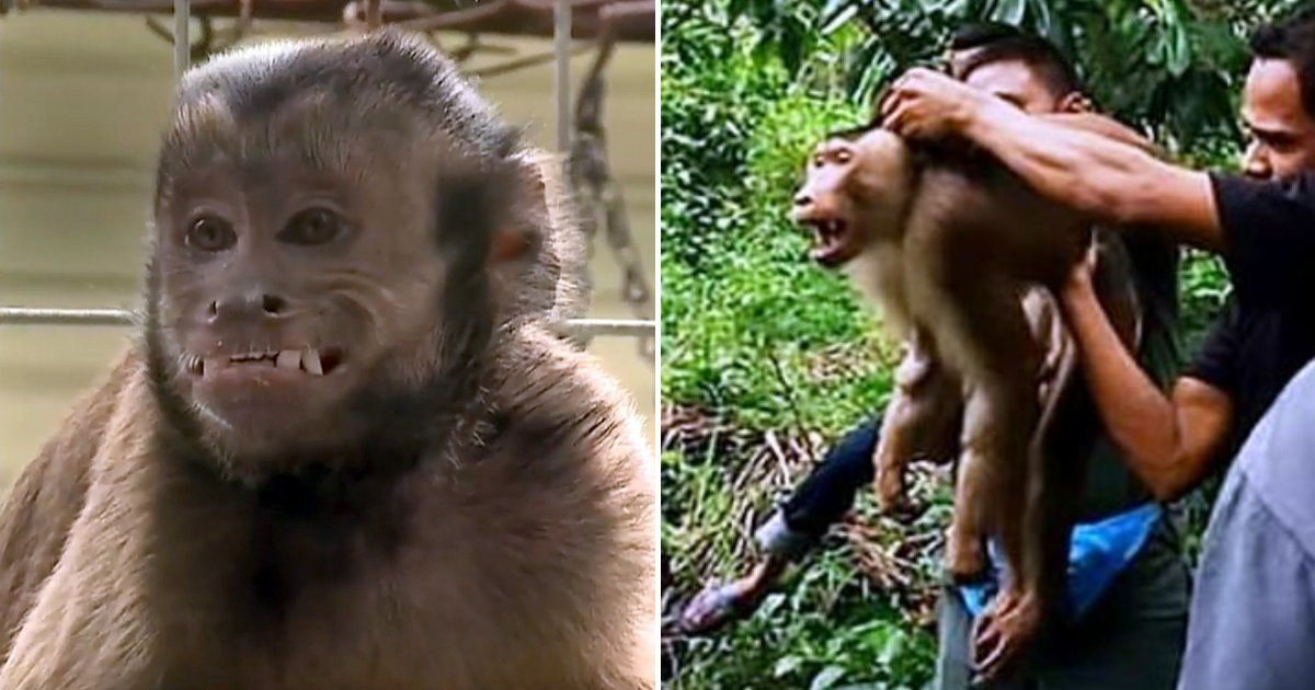Pet Monkey Attacks 72-Year-Old Owner After It Was Ordered To