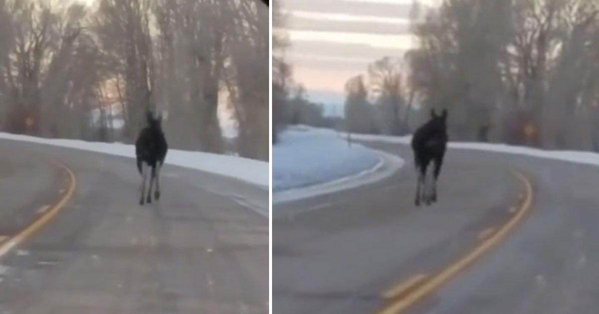 moose running highway.jpg?resize=412,232 - Drivers Spotted A Moose Running On A Highway