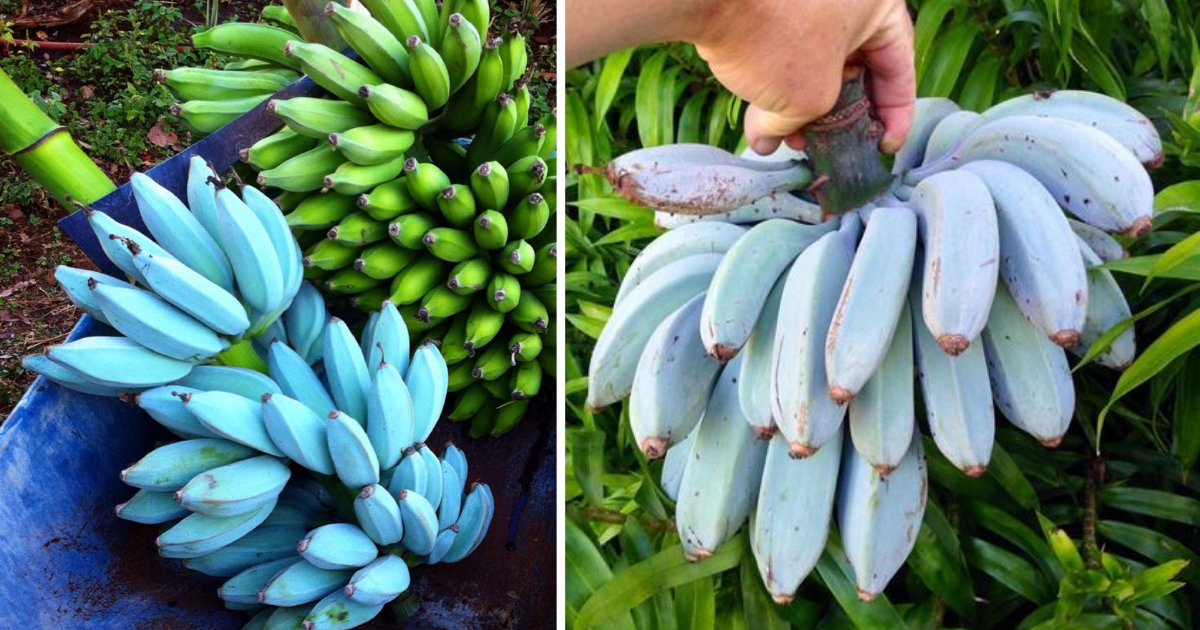 s3 6.png?resize=412,275 - Blue Java Banana Tastes Like Vanilla According To People Who Tried It