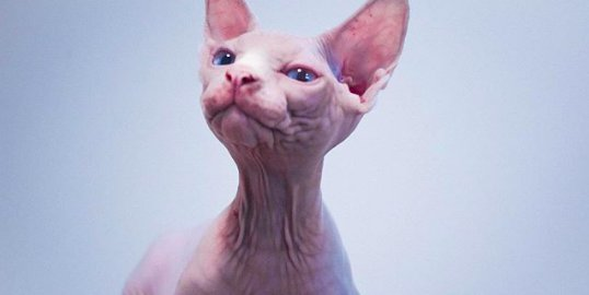 screen shot 2019 05 09 at 12 35 18 pm e1559393886888.png?resize=300,169 - 40 Unique but Adorable Sphynx Cats That Will Change Your Mind About The Hairless Breed