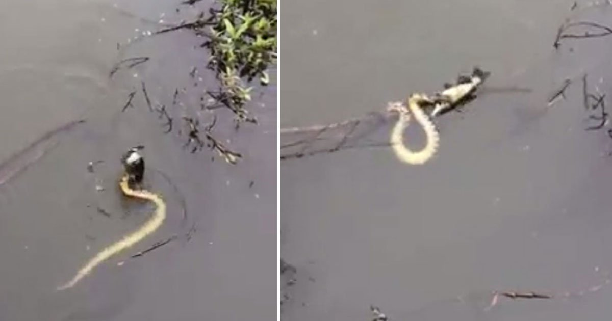 snake steal man catch.jpg?resize=412,232 - Incredible Moment A Snake Stole A Fisherman's Catch