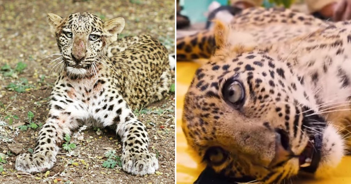 untitled design 52.png?resize=1200,630 - Paralyzed Leopard Cub Relearned How To Walk After Miraculous Recovery