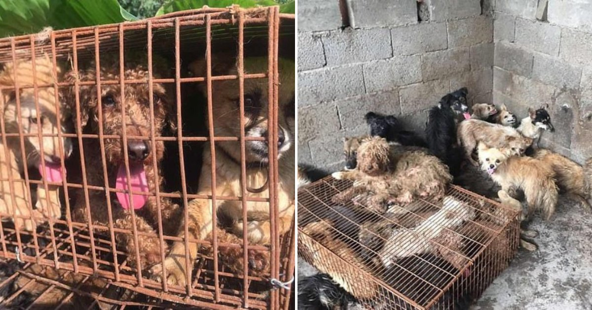 yulin7.png?resize=412,232 - More Than 60 Dogs Are Rescued From Slaughterhouse Days Before China's Yulin Festival Begins
