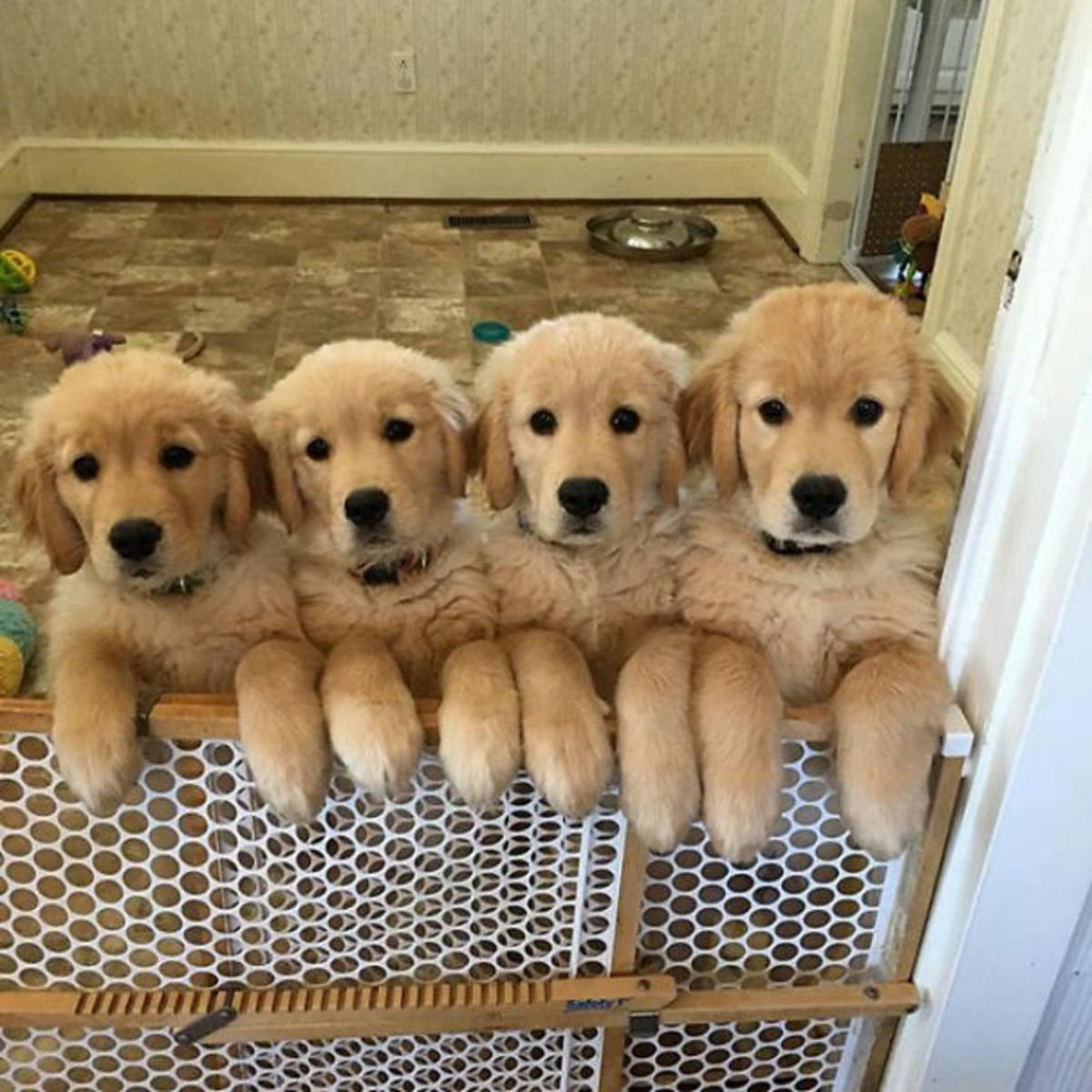 amys3goldens