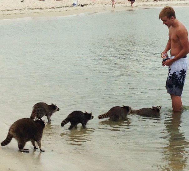 "Finally An Answer To The Age Old Question ""Do Raccoons On A Beach In Panama City, Feel Like Fritos?"""