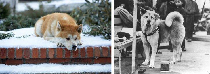 Retrato originial Perro Hashi esperando a su dueño
