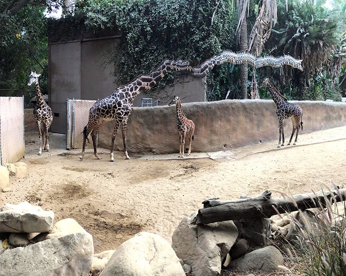 Giraffe Walking While I Was Taking A Panoramic Photo