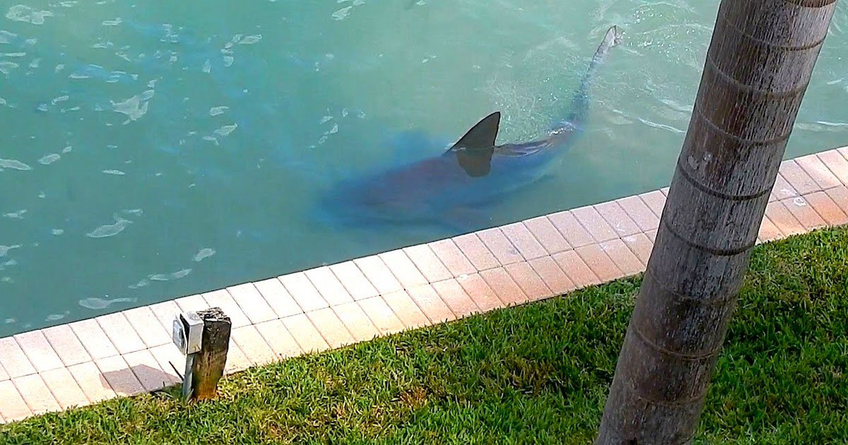 bull shark backyard.jpg?resize=412,232 - Bull Shark Spotted Chilling In The Backyard Of A Florida Resident's Home