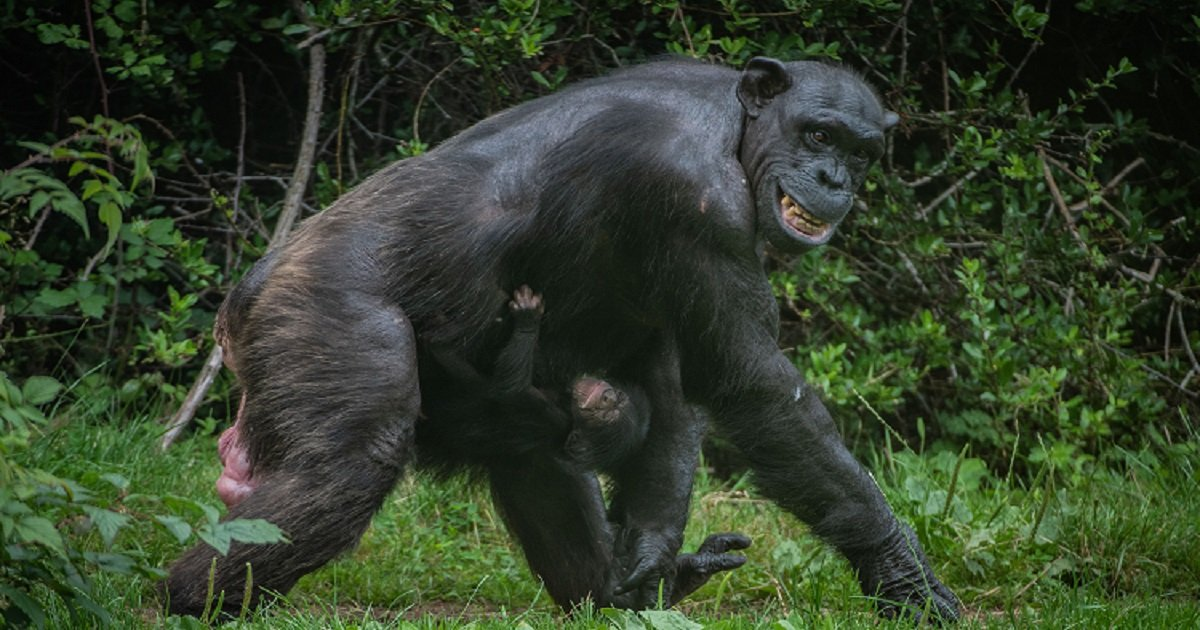c3 11.jpg?resize=412,232 - Lucky Zoo Visitors Got To See An Amazing Birth Of An Endangered Chimpanzee