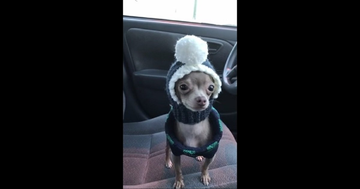 oscar the blue chihuahua hat