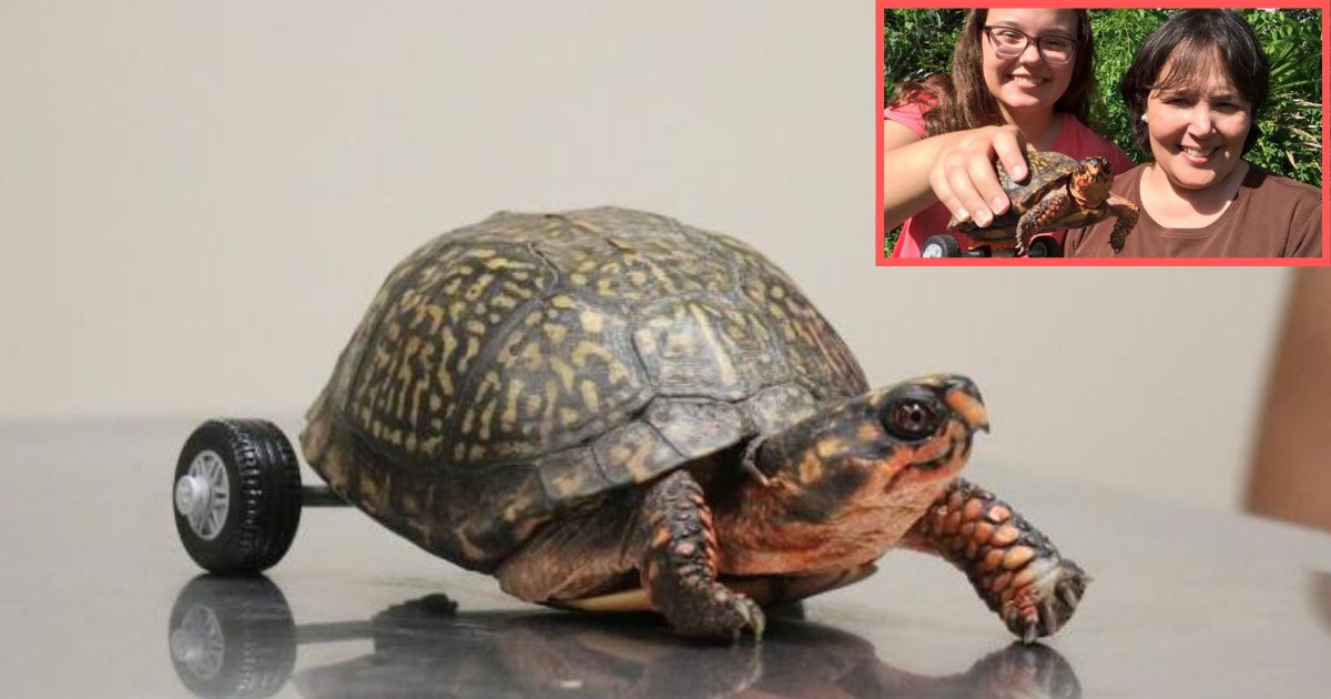 d1 13.png?resize=1200,630 - Vets Attached A Wheelchair to A Turtle Without Legs