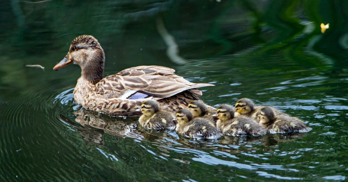 d2 8.png?resize=412,232 - The Cute Ducklings Reunite With Their Mother On Mother's Day