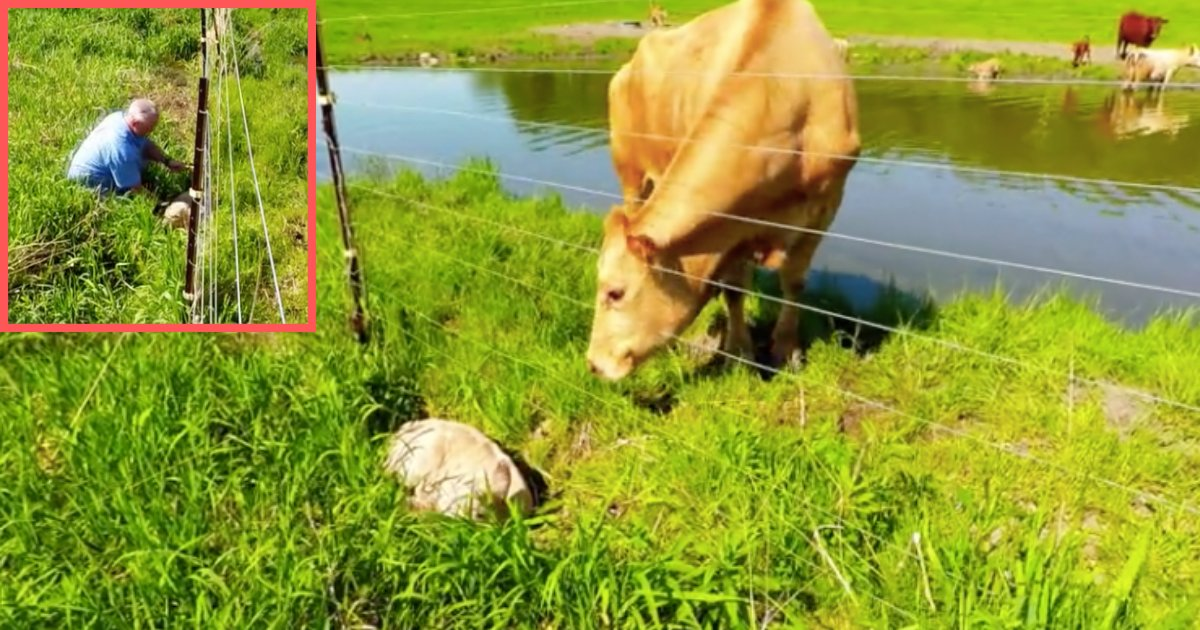 d3 13.png?resize=1200,630 - Mother Cow Calls for Help to Rescue Her Little One