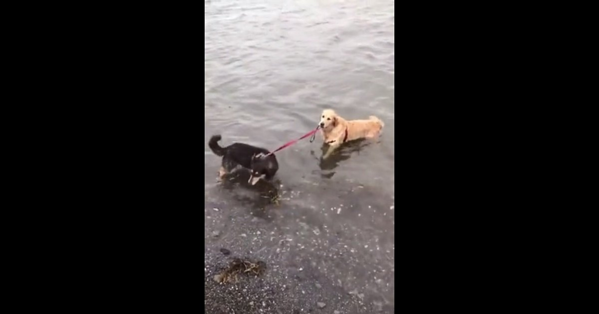 d3.jpg?resize=412,232 - A Dog Tried To Convince Her Pal That It's Fine To Swim But He's Having None Of It