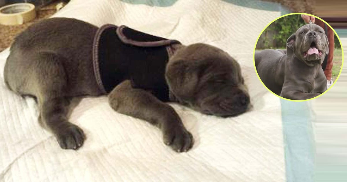 dog story.jpg?resize=412,232 - Heartwarming Story Of A Mastiff Puppy Who Was Going To Be Thrown Out For Being 'Defective'