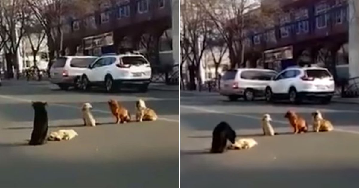 dogs5.png?resize=412,232 - Four Loyal Dogs Block Busy Street To Protect Their Pal Who Got Hit By A Car