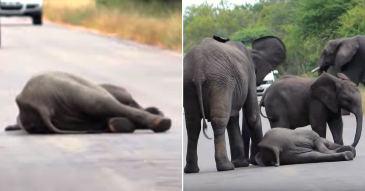 elephant6.png?resize=412,232 - Baby Elephant Collapses In Middle Of The Road, Herd Immediately Gathers To Help