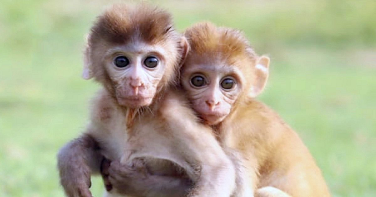 Two Monkeys Who Lost Their Mothers Few Days After Being ...