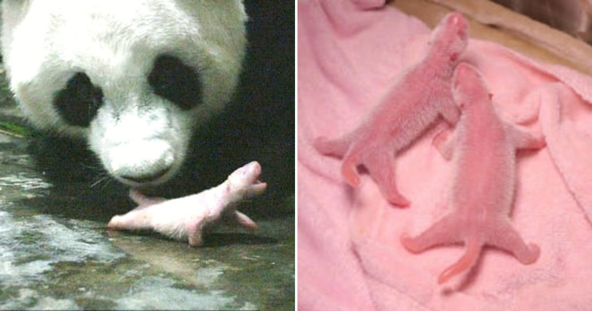 po4.png?resize=412,232 - 'Po' The Giant Panda Just Gave Birth To Two 'World's Heaviest Twin Panda Cubs'