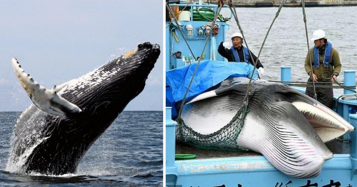s3 13.png?resize=300,169 - Cet été, aucune baleine ne sera massacrée en Islande pour la première fois en près de 20 ans