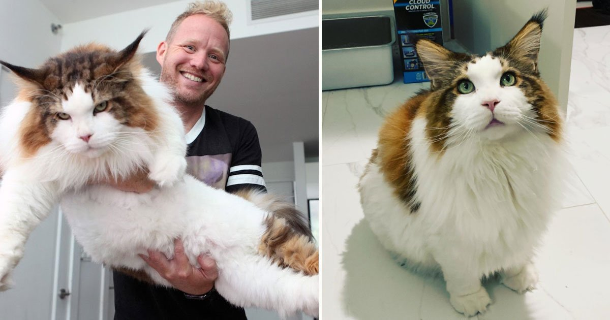samson biggest cat.jpg?resize=412,232 - Samson - The Biggest Cat In New York City - Is 4 Feet Long And Weighs 28 Pounds