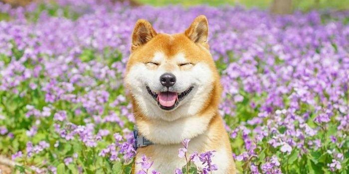shiba inu dog flower fields photography masayo ishizuki japan 24 5cdbf37794320  700 e1563550420284.jpg?resize=1200,630 - 19 Gorgeous Photographies Of The Cutest Flower Shiba Inu In Japan