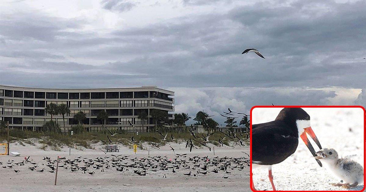 skimmer bird fed her chick cigarette butt thinking its food on florida beach.jpg?resize=1200,630 - Une maman-oiseau a nourri son petit avec un mégot de cigarette pensant que c'était de la nourriture