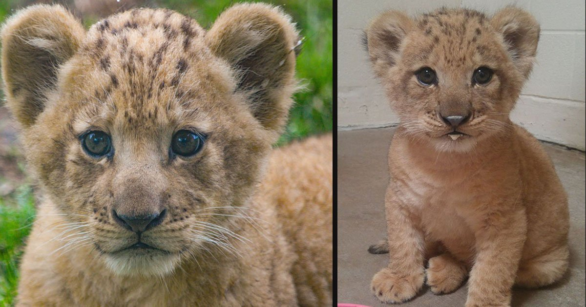 untitled 1 105.jpg?resize=412,232 - This Adorable Cub Was The Model For Baby Simba In The Lion King Remake