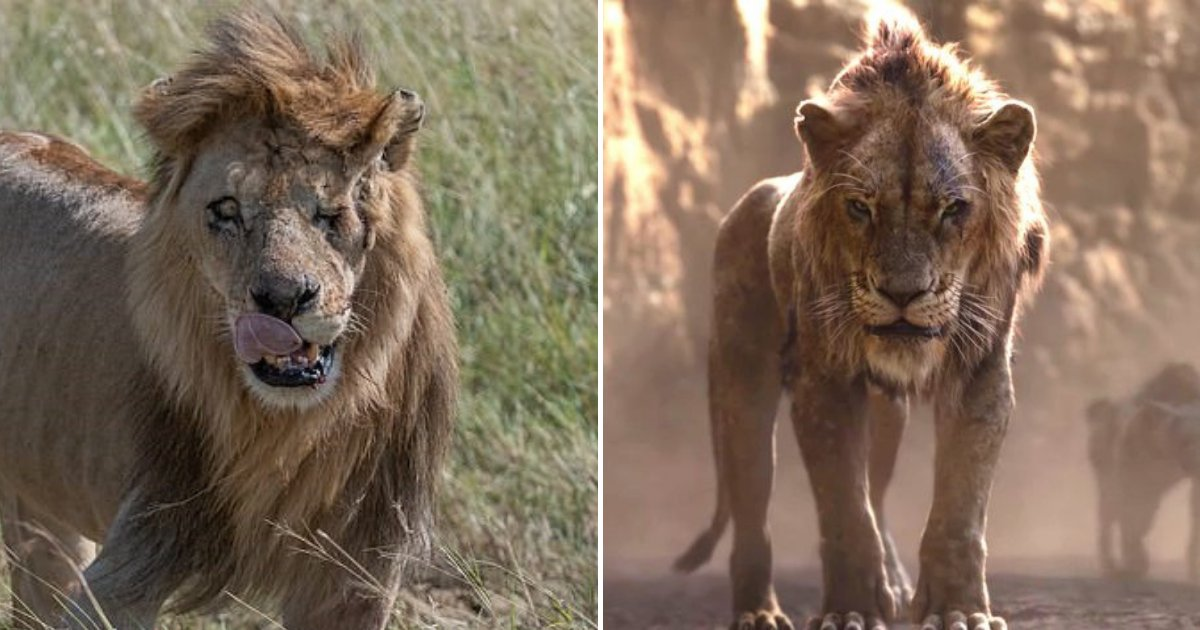 untitled design 12 1.png?resize=412,232 - Real-Life Scar: One-Eyed Lion With Battle Scars Becomes Attraction Following The Lion King Remake
