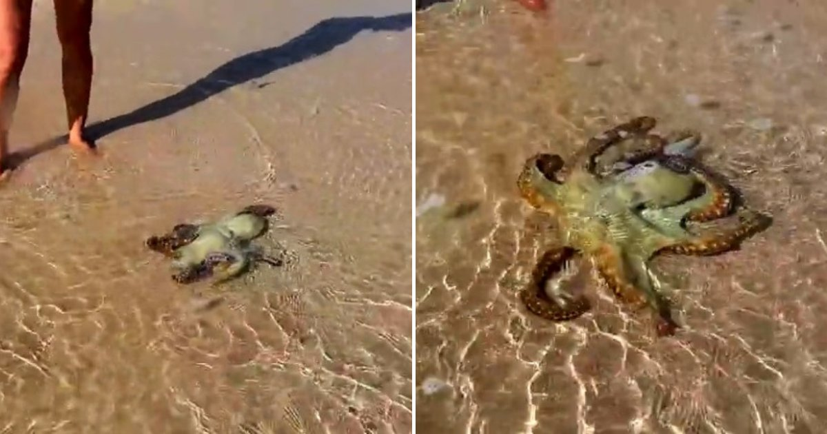 untitled design 4.png?resize=412,232 - Octopus Returns To Say 'Thank You' One Day After Woman Rescues Its Life