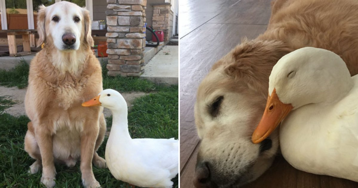 untitled design 42 1.png?resize=412,232 - Golden Retriever And Pekin Duck Are Best Friends Who Do Everything Together