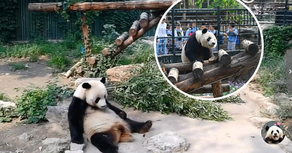 untitled design 48.png?resize=412,232 - Bad-Mannered Tourists Caught On Camera Throwing Rocks To Wake Up Giant Panda
