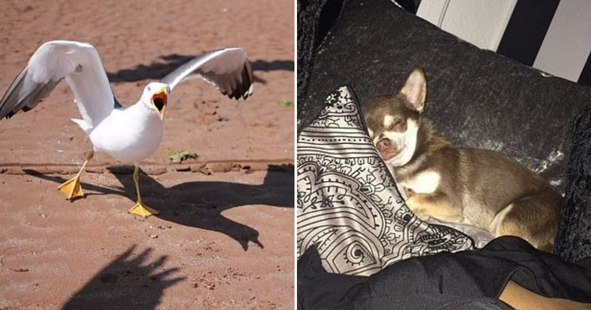 untitled design 65 1.png?resize=1200,630 - Rogue Seagull Dognapped Chihuahua And Carried It Away In Its beak